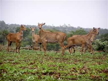 अनुमण्डल के टाल क्षेत्र के किसान नीलगायों के आतंक से परेशान।